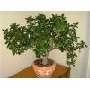 Денежное дерево Толстянка,   Красула разных размеров