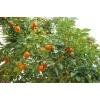Выращивание мандаринов в Абхазии — ваш бизнес