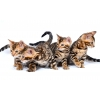 Продам бенгальского котенка (официальный питомник)